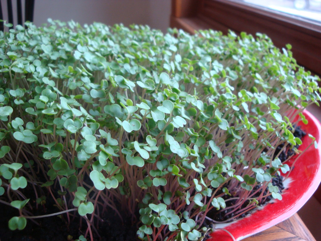 Kale microgreens grown in worm compost by Donna Kallner.