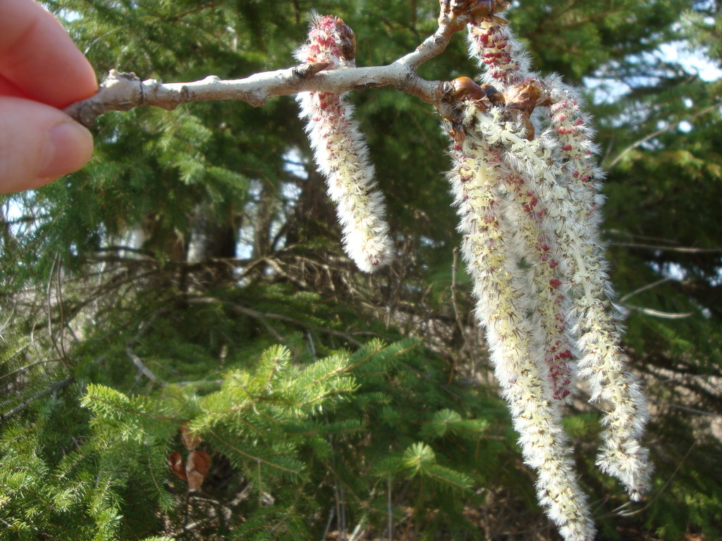 Popple catkins used for natural dye by Donna Kallner.