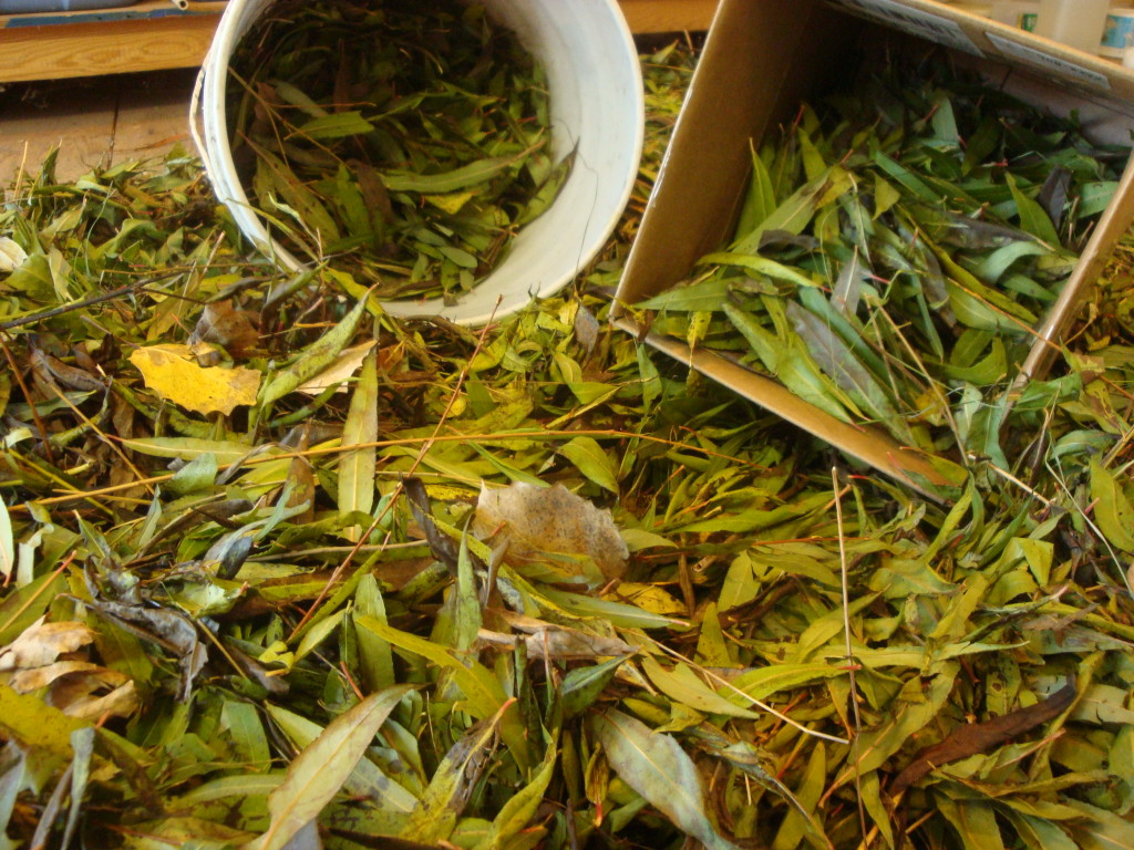 Willow leaves for natural dye with Donna Kallner.