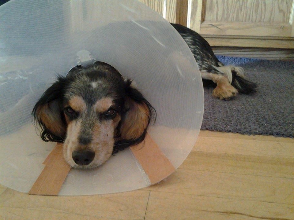 Spayed, and back in the cone to keep from licking.