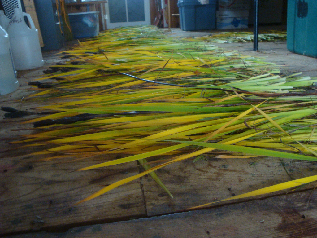 Siberian iris leaves drying in my studio.