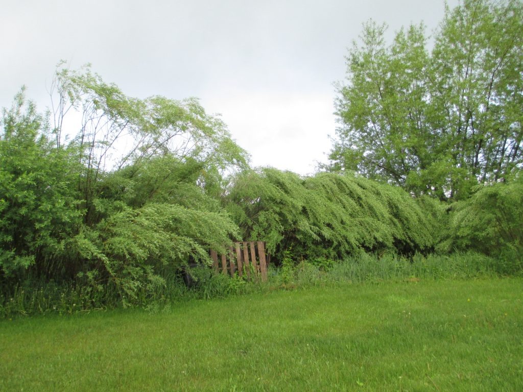 Our willow snow fence will be harvested and split for skeins.