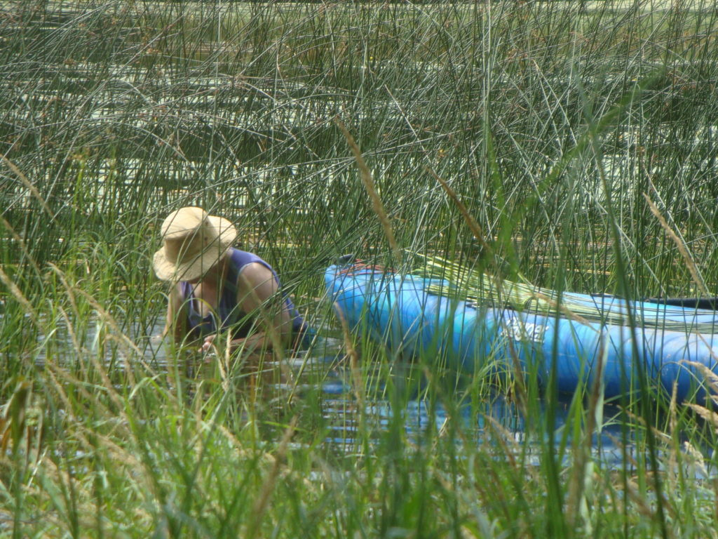 Bulrush harvested for cordage is cut below the water line.