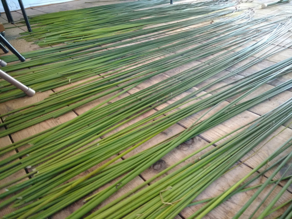 Bulrush for cordage spread to dry.